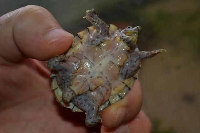 Sternotherus carinatus - Razor-backed musk turtle Fifiplastron