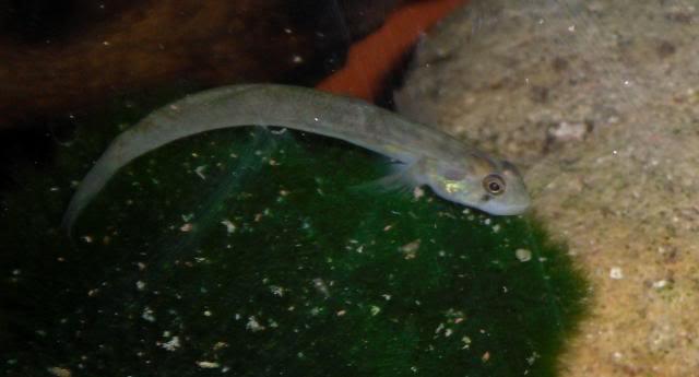 Mon Sicyopus zosterophorum Sicyopusid