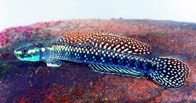 Stiphodon - gobie d'eau douce et saumâtre Stiphodonjulieni