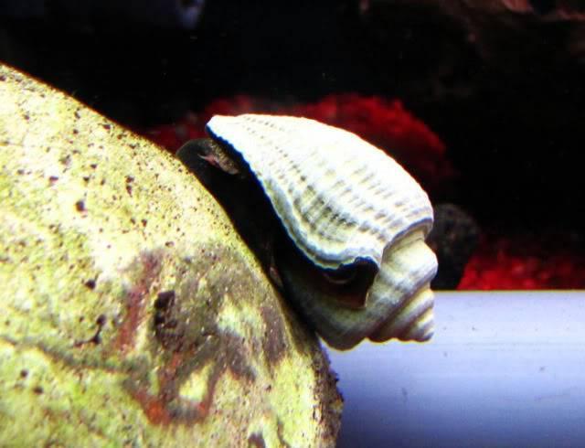 Quiz invertébrés Eau douce - saumâtre - marin (300-500 points) - Page 3 Snail