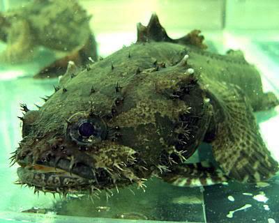 Batrachomoeus trispinosus Thai1_toad01