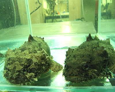 Batrachomoeus trispinosus Toad011