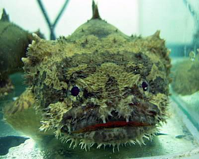 Batrachomoeus trispinosus Toad021