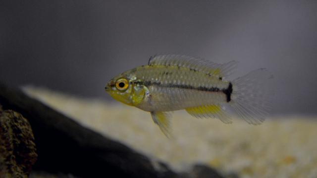 Apistogrammoides pucallpaensis Apistogrammoidespucallpaensis