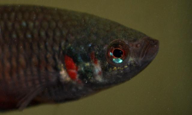 Betta splendens sauvage  Bettasplendens4