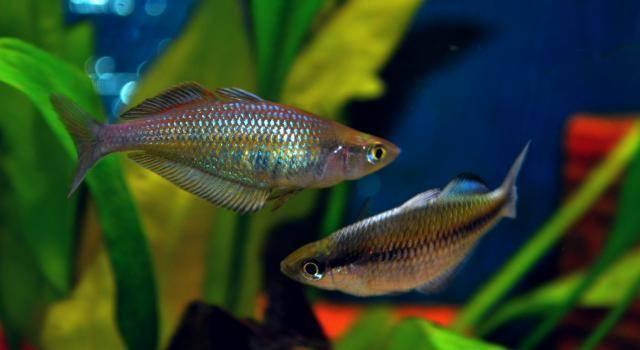 Chilatherina fasciata Pagai River ChilatherinavsMelanotaenia