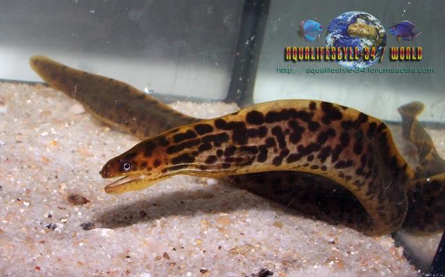 Gymnothorax polyuranodon Gymnothoraxpolyuranodon18