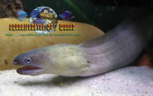 We invite all Aquarists to share their experience on the moray-eels Gymnothoraxtile10