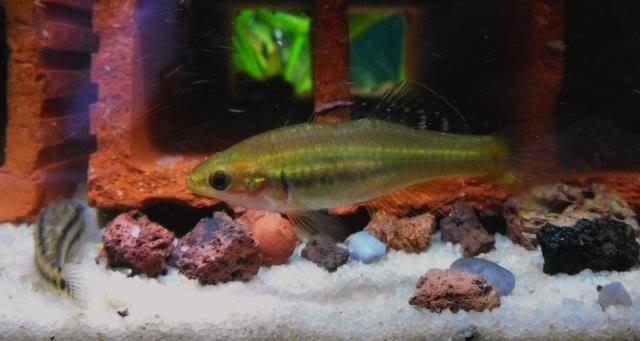Identification d'un couple de Hypseleotris leuciscus? Hypseleotrisleuciscus7