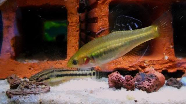 Identification d'un couple de Hypseleotris leuciscus? Hypseleotrisleuciscus8