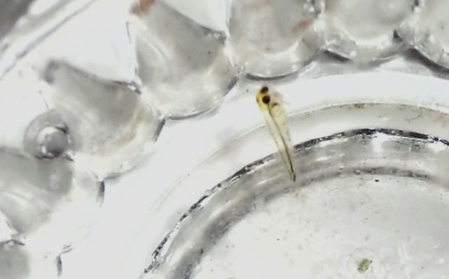 identifier une larve de poisson ... Larveapteronotusalbifrons2