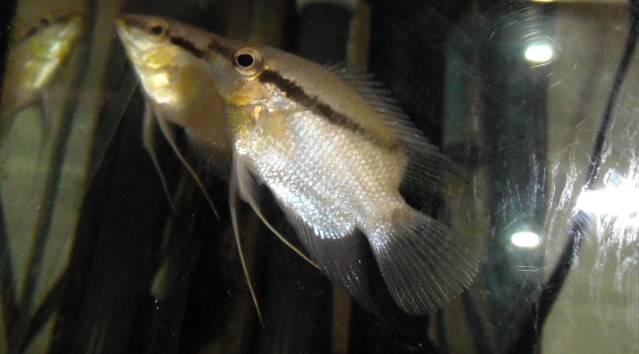 Mesonauta mirificus - recherche dimorphisme Mesonauta4b