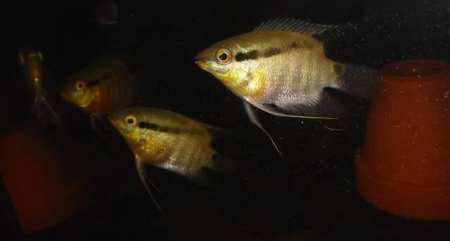 Mesonauta mirificus - recherche dimorphisme Mesonautamirificusid2
