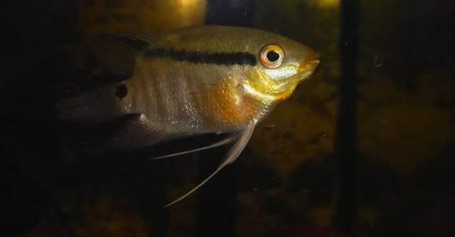 Mesonauta mirificus - recherche dimorphisme Mesonautamirificusid3