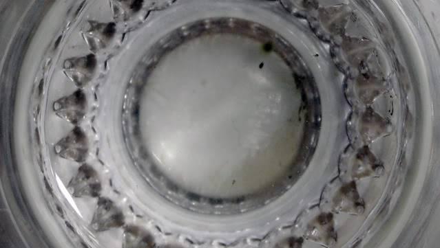 Reproduction Mugilogobius latifrons Mugilogobiusalevins