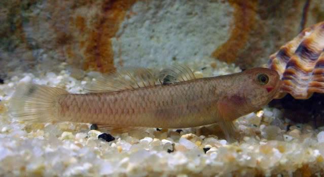 Reproduction Mugilogobius latifrons Mugilogobiuslatifronsfemelle