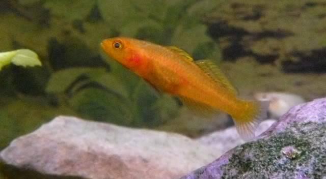 Mugilogobius rexi Mugilogobiusrexi9