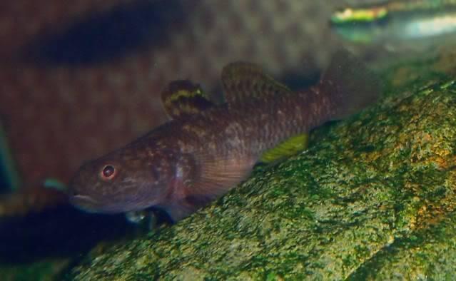 Aquarium Stiphodon, Sicyopterus,Mugilogobius Mugilogobiussp