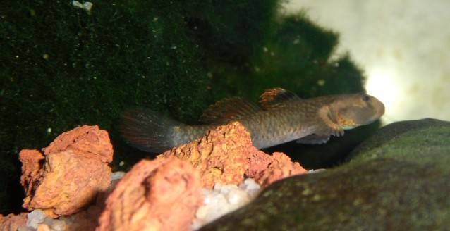 What species of Rhinogobius ? Rhinogobiusid1