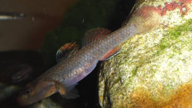What species of Rhinogobius ? Rhinogobiusid12