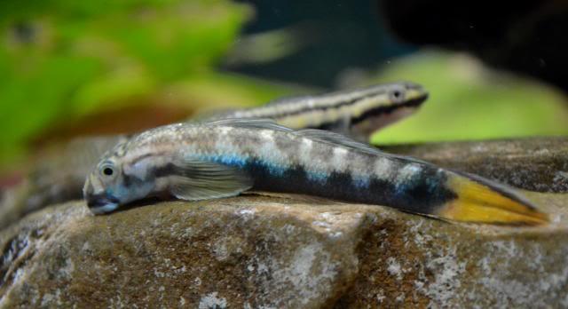 sicyopterus sp (espèce à définir, identification en cours) [GOBIES] Sicyopterusmacrostetholepis3