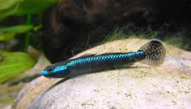 Stiphodon atropurpureus - コンテリボウズハゼ [GOBIES] Stiphodonatropurpureus10