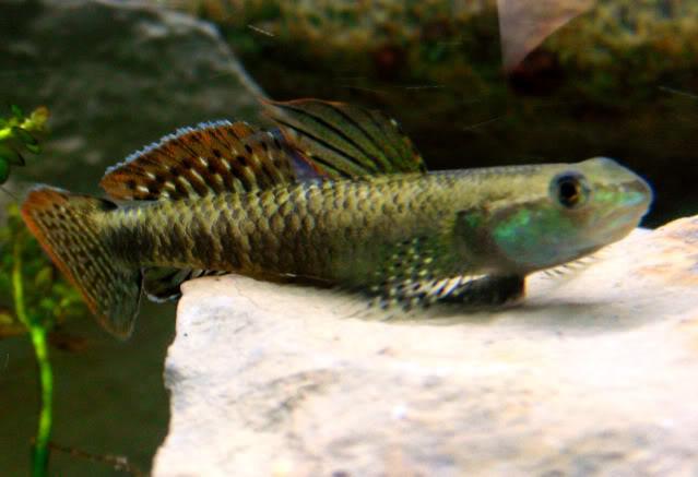 Stiphodon sp rainbow - ニジイロボウズハゼ [GOBIES] Stiphodonrainbow1