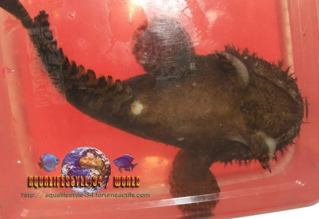 Mon toadfish ne mange plus (batrachomoeus trispinosus) Allenbatrachusgrunniens25