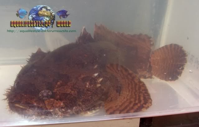 Mon toadfish ne mange plus (batrachomoeus trispinosus) Allenbatrachusgrunniens26
