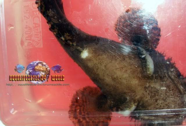 Mon toadfish ne mange plus (batrachomoeus trispinosus) Allenbatrachusgrunniens28