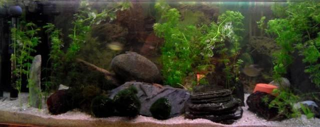 Aquarium Stiphodon, Sicyopterus,Mugilogobius Aqua-gobie