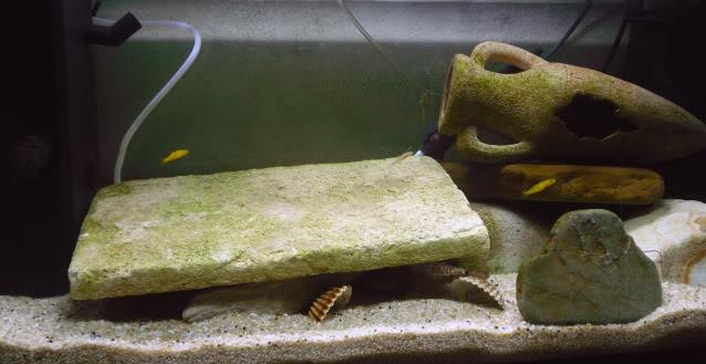 96 litres - Gobies des lacs de Sulawesi Aquariumgobiesulawesi3