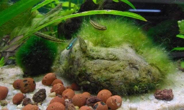 Alimentation pour les Stiphodon et autres gobies - Algues GroupeStiphodon