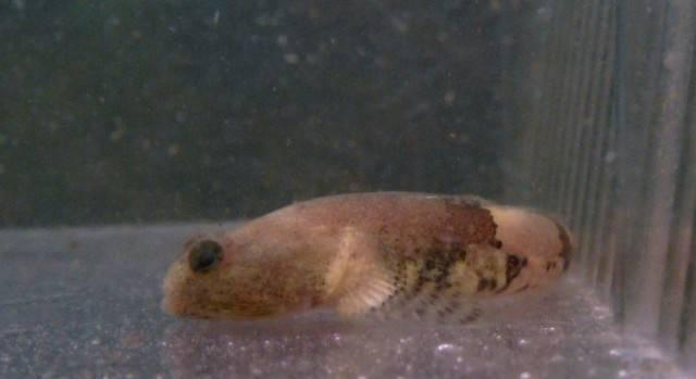 schismatogobius marmoratus Schismatogobiusampluvinculus10