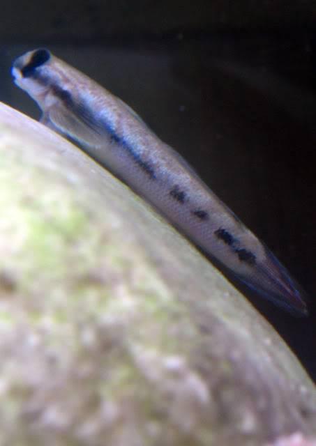 sicyopterus sp (espèce à définir, identification en cours) [GOBIES] Sicyopterus5