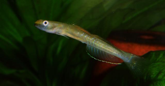 Mes Sicyopus cebuensis Sicyopuscebuensis9