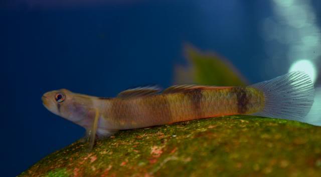 Mon Sicyopus zosterophorum Sicyopuszosterophorum11
