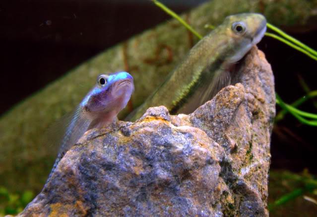 le monde des gobies d'eau douce Stiphodon-sicyopterus5