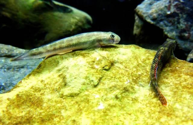 Aquarium Stiphodon, Sicyopterus,Mugilogobius Stiphodon-sicyopterus6