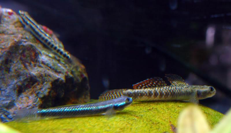 Stiphodon sp rainbow - ニジイロボウズハゼ [GOBIES] Stiphodon1-1