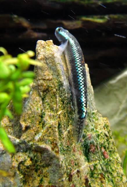 We invite all Aquarists to share their experience on Stiphodon Stiphodonatropurpureus5