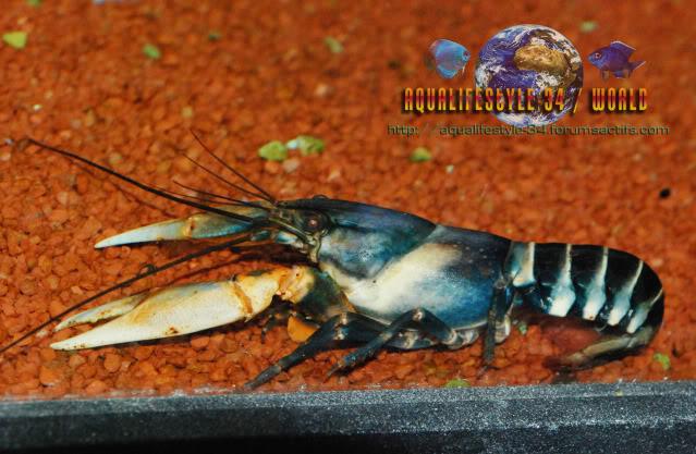 information- cherax irian jaya(crayfish-Krebse) Cherax_papuanus2