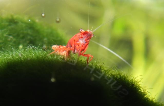 """Concours photos """"les invertébrés aquatiques"""" - Malanyika - vote  Photo017"""