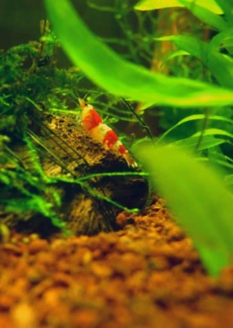 """Concours photos """"les invertébrés aquatiques"""" - Malanyika - vote  Crevette"""