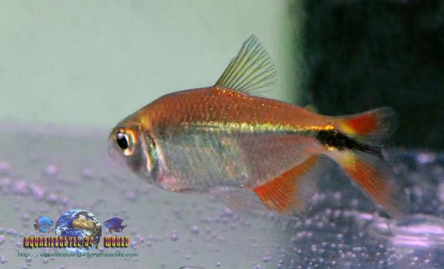 Apprendre à identifier un poisson ... (200 points) Hemigrammuscaudovittatus3