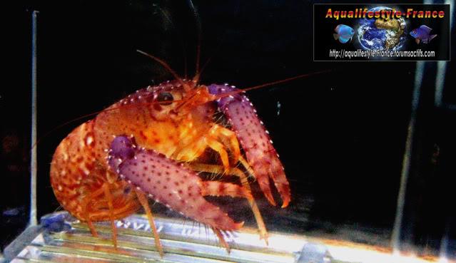 Quiz invertébrés Eau douce - saumâtre - marin (300-500 points) Enoplometopusdebelius2