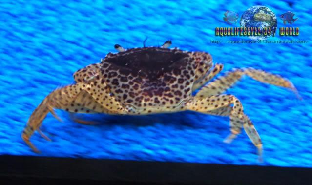 Parathelphusa pantherina - Crabe panthère de sulawesi Parathelphusapantherina