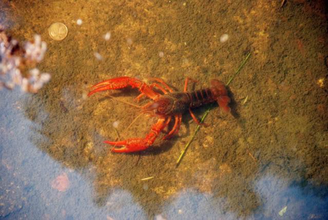 procambarus clarkii Procambarus_clarkii1