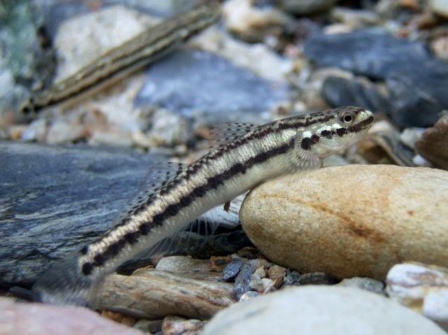 Identification et Recherche d'informations Stiphodonniraikanaiensisfemale