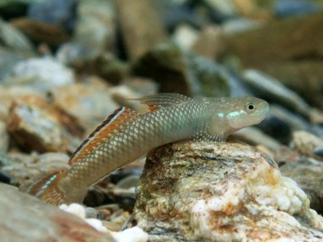 Identification et Recherche d'informations Stiphodonniraikanaiensismale